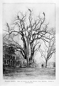 Not too many clothes on show, but just couldn't resist this extreme tree pruning before the age of bucket lifts/cherry pickers. Vintage Pictures, Old Pictures, Old Photos, Tree Surgeons, Rare Historical Photos, Tree Pruning, Big Tree, Giant Tree, All Nature
