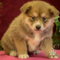 ADOPTED - Miles is my name and adventure is my game. I am an adorable Pomsky puppy. I love to play and romp. I love playing with toys. I am the perfect Mini Husky. Make me yours today! Pomsky Breeders, Mini Huskies, Pomsky Puppies For Sale, Husky, Puppy Breeds, I Am Game, Friends Forever, Corgi, Adoption