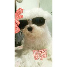 Super ZOE!  #partygirl #zoe #party #maltese #love #loveanimal #loveanimals #lovedogs #dogsofinstagram #instadog #italy #italiandog