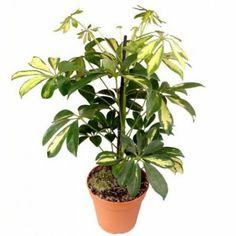acero giapponese pianta sempreverde da balcone | Piante | Pinterest