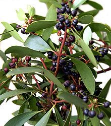 Tasmanian Mountain Pepper tree (Tasmannia lanceolata) Male and female trees are needed to produce. Both the Berry and the leaf are edible - the Berry being an alternative to traditional pepper but much more versatile, nutritious and extremely high in anti-oxidants, while the leaf is used similarly to curry leaf.  http://www.pepperberry.net.au/