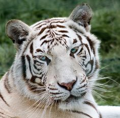 White Tiger, one of my favorite animals. Most Beautiful Animals, Beautiful Cats, Beautiful Creatures, Beautiful Images, Baby Animals, Cute Animals, Wild Animals, White Bengal Tiger, Tiger Images