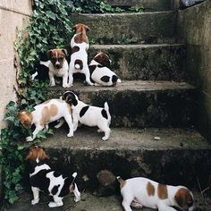 Cute Litter of Baby Jack Russell Terrier Puppies having fun exploring the Garden Steps Love My Dog, Cute Puppies, Cute Dogs, Dogs And Puppies, Doggies, Terrier Puppies, Maltese Puppies, Bull Terrier, Animals And Pets
