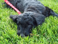 this has to be what jon's labradoodle looked like when she was a pup