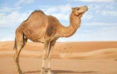 camel에 대한 이미지 검색결과