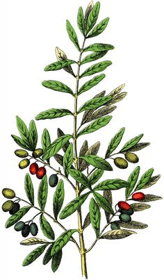 Free Botanical Olives Clip Art - Gorgeous! - The Graphics Fairy