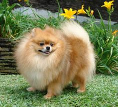 4. At one time, Queen Victoria had 35 Pomeranians in her kennel, and on her deathbed, asked that her Pom Turi remain by her side.