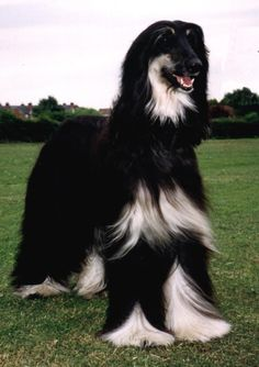 I have owned 2 black & tan Afghan Hound Dogs. Such sweet dogs