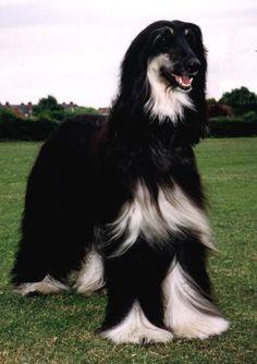 Afghan hound dog. amazing markings!