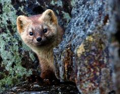 Desktop Wallpaper face sable hide burrow animal hd for pc & mac, laptop, tablet, mobile phone Wild Animals Pictures, Coat Of Many Colors, River Otter, Wonderful Picture, Wild Nature, His Travel, Hd Backgrounds, Wallpapers, Animal Wallpaper