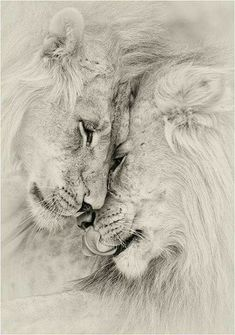 support me don't leave me alone - big cats - . support me don't leave me alone – big cats – -Il . support me don't leave me alone - big cats - . support me don't leave me alone – big cats – - Animals And Pets, Cute Animals, Lion Family, Lion Love, Lion Pictures, Lion Of Judah, Lion Art, Big Cats, Animal Drawings