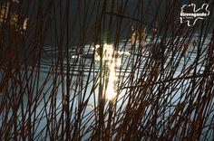 Cigni dietro il canneto del lago di Toblino