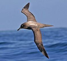 ... and this, a graceful Light-mantled Albatross. We hope to see you on one of our fantastic adventures in the future! (Pete Morris)