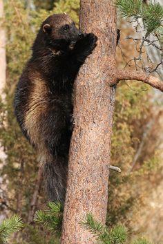 Wolverine (Gulo gulo). Sweden. Photo by Pia Brännvall (at https://www.flickr.com/photos/pializ/8127032782/).