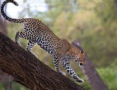 High resolution animals desktop wallpaper of African Leopard, Samburu National Reserve, Kenya (ID: Leopard Wallpaper, Animal Wallpaper, Tree Wallpaper, Girl Wallpaper, Leopard Pictures, Animal Pictures, Leopard Tapete, African Tree, African Leopard