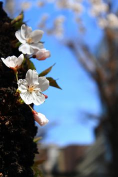 大阪市内の公園・桜(SAKURA)