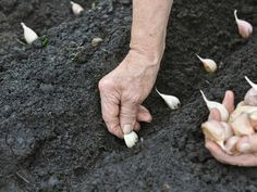 How to Grow Garlic in your Garden? If you'd like to grow garlic, you'll be happy to learn that it is very easy to do. A member of the allium family, garlic Indoor Vegetable Gardening, Organic Gardening, Gardening Tips, Vegetable Farming, Gardening Quotes, Gardening Vegetables, Gardening Supplies, Organic Compost, Grow Organic