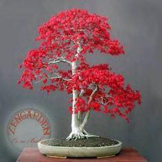 +10 acer rubrum kırmızı tohumu maple bonsai *169