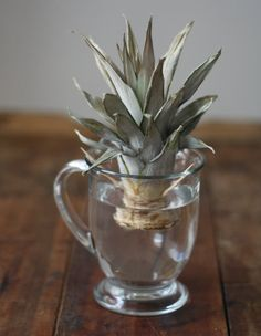 How To: Plant & Grow a Pineapple Top. w/ step by step photos