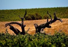 Vineyards in McLaren Vale, South Australia.