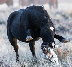 English Setter is nearly killed as she is able to escape a wild stallion from trampling