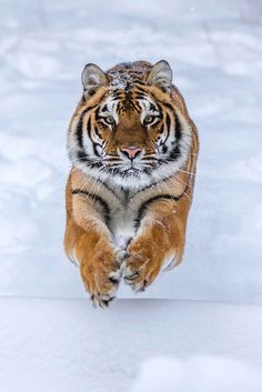 Tiger by - Some people feel the rain. Others just get wet. Big Cats, Cats And Kittens, Cute Cats, Nature Animals, Animals And Pets, Cute Animals, Beautiful Cats, Animals Beautiful, Regard Animal