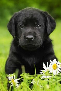 Black Labrador Finding your perfect black lab puppy isn't hard, but there are things you need to know! - Black Lab is an in-depth guide to the world's favorite black dog. Packed with black Labrador information, from black Lab origins to finding your puppy Black Lab Puppies, Cute Dogs And Puppies, Doggies, Black Labs Dogs, Black Puppy, Silver Lab Puppies, Black Labrador Retriever, Retriever Puppies, Labrador Puppies