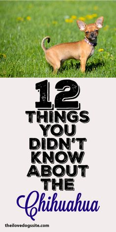 12 Things You Didn't Know About The Chihuahua!