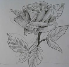 How to draw roses step by step, Drawing roses