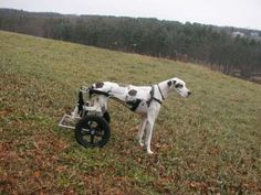 Giant Dog Carts for Giant Dogs - Eddie's Wheels
