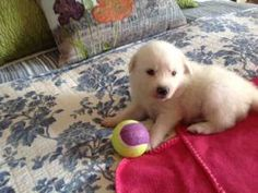 WOODY: Australian Shepherd, Dog; Austin, TX I WANT THIS LIL GUY SO BAD