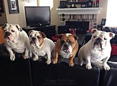 #Bulldogs are beautiful, don't you think? April 21 – Bulldogs are Beautiful Day!