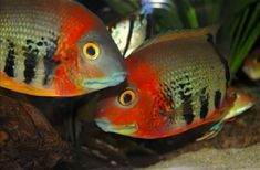 Rotkeil Severum (Heros Severus). Stunning red coloration when adults. Picture shows what these beautiful fish will turn into. Currently juvenile colors. Tropical Aquarium, Tropical Fish, Colorful Fish, Live Aquarium Fish, Tropical Freshwater Fish, Freshwater Aquarium Fish, South American Cichlids, Reef Aquascaping, Water Animals