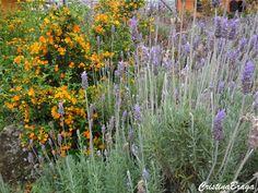 Herbácea, pertence à família Lamiaceae, nativa do Mediterrâneo, perene, de caules eretos ou ascendente, de 0,5 a 1m de altura. Folhas cinzentas, carnudas e de formato linear. Suas flores azul-lilás reúnem-se em inflorescências tipo espiga, bastante perfumadas e surgem em julho. Nos tecidos das flores existem glandulas oleíferas que produzem o óleo de onde se ...
