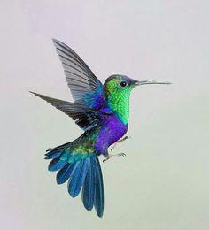 Green-crowned woodnymph Little Birds, All Birds, Love Birds, Hummingbird Colors, Hummingbird Pictures, Colorful Hummingbird Tattoo, Humming Birds, Green Birds, Colorful Birds