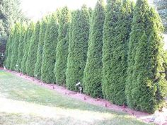 (Leyland Cypress) 5 Best Trees For Privacy That Grow Fast - Gardeners' Guide Best Trees For Privacy, Privacy Trees, Privacy Plants, Screen Plants, Privacy Fence Landscaping, Backyard Landscaping, Landscaping Ideas, Outdoor Privacy, Backyard Privacy