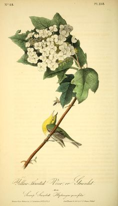 v 4 - The birds of America : - Biodiversity Heritage Library