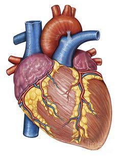 Drawing Human Anatomy Gross anatomy of the human heart Canvas Art - Stocktrek Images x - Gross Anatomy, Body Anatomy, Anatomy Art, Anatomy Images, Heart Anatomy Drawing, Human Heart Drawing, Heart Images Hd, Heart Pictures, Cardiac Anatomy