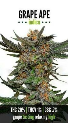 Learn more around a variety of weed strains. Visit our detailed marijuan . Cannabis Growing, Cannabis Oil, Medical Cannabis, Buy Cannabis Online, Buy Weed Online, La Confidential, Whatsapp Text, Weed Strains, Cbd Oil For Sale