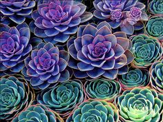 inspiration: desert in bloom, cactus, succulent, color explosion Purple Succulents, Planting Succulents, Garden Plants, Planting Flowers, Succulent Plants, Purple Flowers, Purple Plants, Desert Flowers, Lotus Flowers
