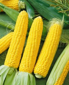 """Honey Select corn is a yellow triplesweet that will produce large ears with medium-green husks and good flags. Honey Select produces a very high quality ear that can averagie 8.5"""" in length with 18-20. This corn will mature in just 79 days after planting.  Product Details   Zones: 3-9   Planting Depth: 1"""" inch  Spacing: sow 2"""" inches apart; thin plants to 4-8"""" inches apart when 2"""" inches tall, 1 foot between rows   Sun/Shade: Full Sun   Germination: 5-7 days   Days to Maturity: 79 days   Ear..."""