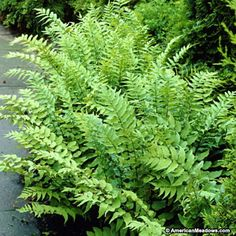 "Features: An excellent semi-evergreen fern that will tolerate shade and colder weather in the North. It is an easy, fast grower with a tall erect growth habit and hardy in zone 5-10. Care:  Top beds with 2"" compost or peat moss mulch each spring and keep moist. Snow may cause semi-evergreen fronds to lie down. leaves should only be removed when brown or hidden by newly emerging fronds. Use organic fertilizers at half rate.  Mature in 2-3 years, do not divide"