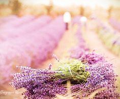 Toutes les tailles | Lavender Harvest | Flickr: partage de photos!