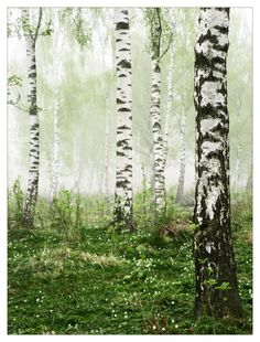 Foggy Birch Forest by snader on DeviantArt Birch Tree Art, Birch Forest, Tree Forest, Foggy Forest, Forest Painting, Photo D Art, Photo Wall, Forest Photography, Aspen Trees