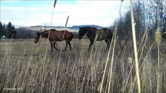 Horses grazing at the corner of Buck Flats and Lund Road. Houston, BC., October 21, 2015, Travel Houston, British Columbia with Brian Vike.