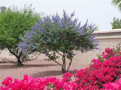 Vitex-agnus castus, also known as Chaste Tree is primarily used for menstrual issues such as irregular menstrual cycles, PMT symptoms and menopausal bleeding irregularities such as frequent or heavy bleeding. So what do chaste tree tablets do? Vitex Tree, Drought Tolerant Garden, Beautiful Gardens, Chaste Tree Benefits, Tree Seeds, Xeriscape Landscaping, Plants, Chaste Tree, Backyard Landscaping