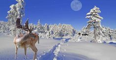 The Eyes of Arctic Reindeer Change from a Golden Color in Summer to Blue in Winter.  Merry Christmas!