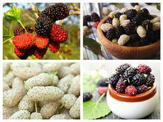 Fructe aparent banale, care cresc în copacii de margini de drum, dudele sunt o sursă bogată de proteine vegetale – o raritate în lumea plantelor.