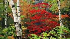 Birch Trees and Autumn Leaves HD Wallpaper Widescreen Wallpaper, Wallpaper Backgrounds, Wallpapers, Autumn Leaves Wallpaper, White Birch Trees, Birch Forest, Autumn Scenes, Autumn Lights, Water Lilies
