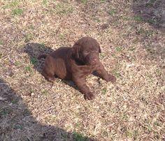 Baby Delta  3 week old Chesapeake Bay Retriever